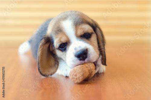 Canvas Print beagle puppy