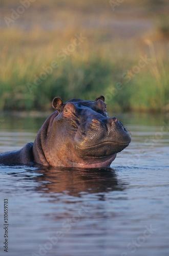 Fototapeta Hippopotamus (Hippopotamus Amphibius) bathing in waterhole