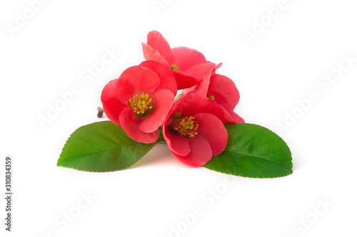 Fleurs de cognassier du Japon Fototapet