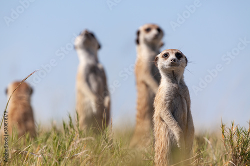 Canvas Print meercats playing in african savannah