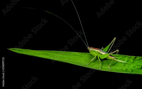Tablou Canvas Green grasshopper standing on a green leaf isolated in black background