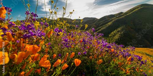 Fotografie, Obraz MARCH 15, 2019 - LAKE ELSINORE, CA, USA - Super Bloom California Poppies in Wa