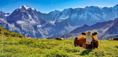 Obraz na płótnie cows in alps