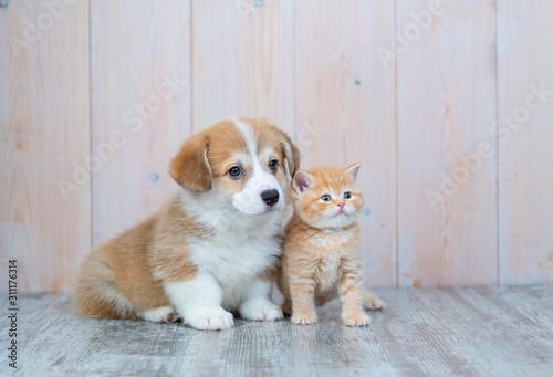Fotografia Pembroke Welsh Corgi puppy and kitten together