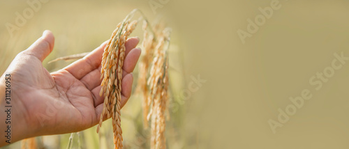 Canvas Print Ripe ear of rice on woman hand for banner with copy space.