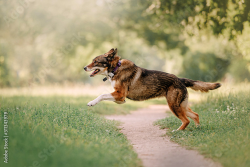 Canvas Print happy mixed breed dog running outdoors in a collar with gps tracker