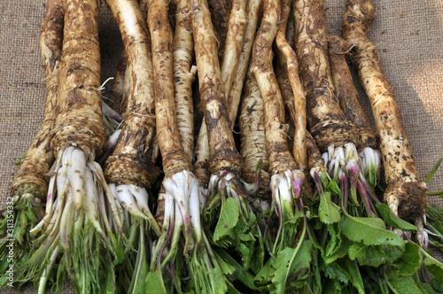 Fotografiet Fresh, dug-out horseradish