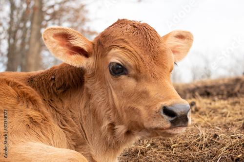 Fotografie, Tablou a close up of a calf