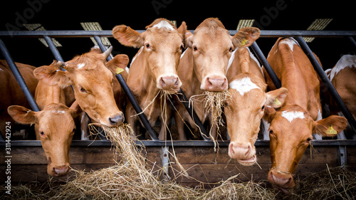 Photo Inquisitive cows eating hay in a barn