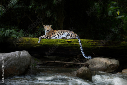 Fotografering Leopard relax in the rain forest on the timber with moss