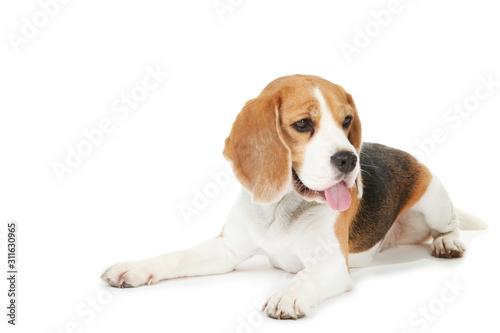 Obraz na plátně Beagle dog isolated on white background