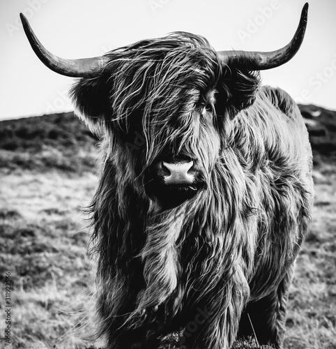 Stampa su Tela Black & White Highland Cow