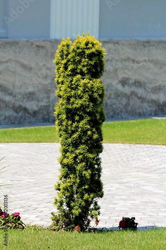 English yew or Taxus baccata or Yew or Common yew or European yew evergreen orna Fototapeta