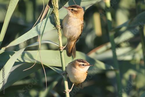 Fototapeta The two sedge warbler (Acrocephalus schoenobaenus) on the reed in soft morning light