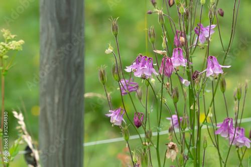 Carta da parati European columbine, Aquilegia vulgaris plants