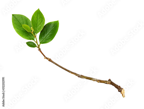 Photo Twig with green leaves