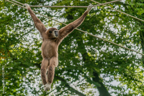 Canvastavla White handed gibbon hanging on ropes between the trees