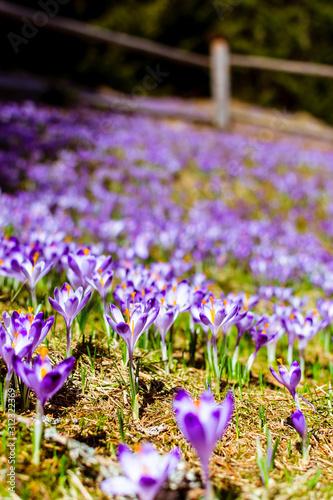 pola krokusów, wiosna, zakopane
