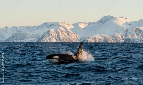 Fotografia Orca / Killer Whale of Norway - Lofoten