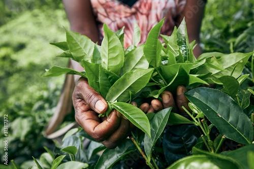 Obraz na plátně Harvest on tea plantation