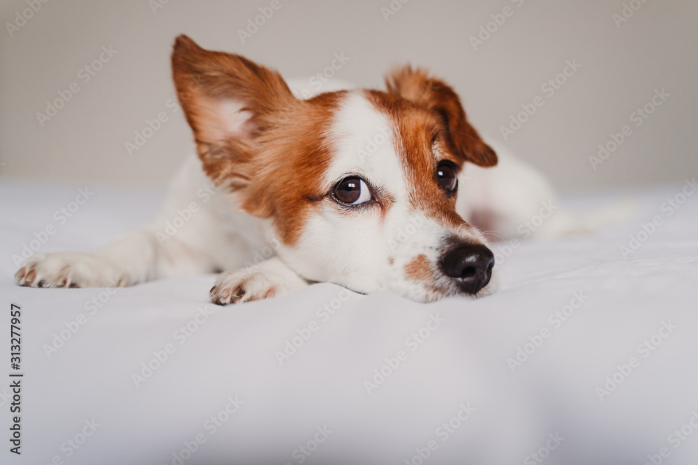 cute jack russell dog lying on bed listening with funny ear <span>plik: #313277957   autor: Eva</span>
