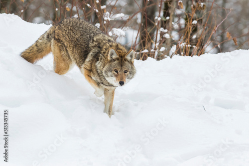 Tableau sur Toile Big male coyote (Canis latrans) in winter