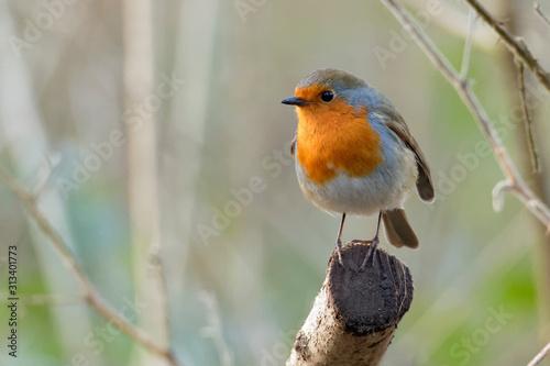 Fotografia robin on branch