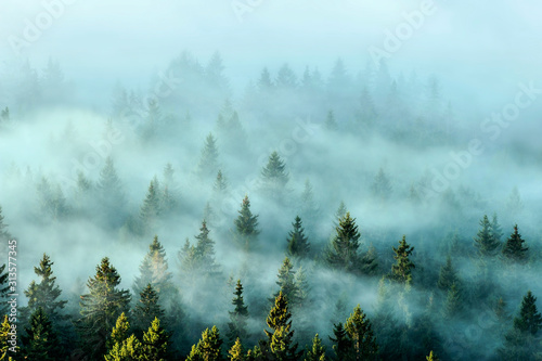 Misty mountains with fir forest in fog. Foggy trees in morning light.