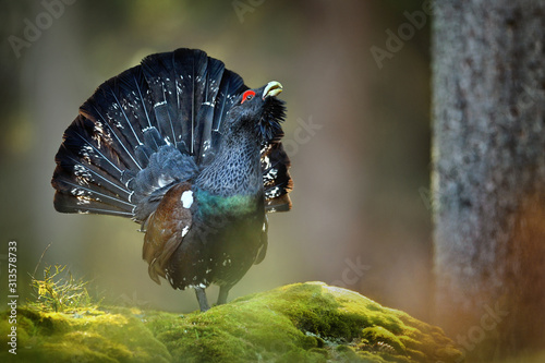 Fotografiet Capercaillie, Tetrao urogallus in deep forest
