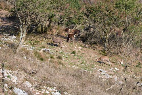 Fototapeta Wild Sika deer in japanese landscape on Mt Ibuki, Shiga Prefecture