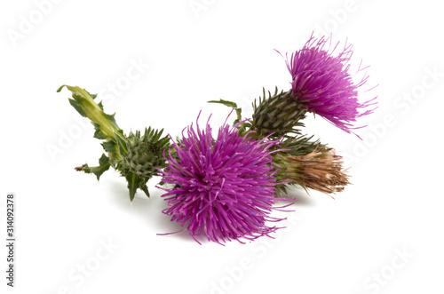 Canvas Print burdock flower isolated