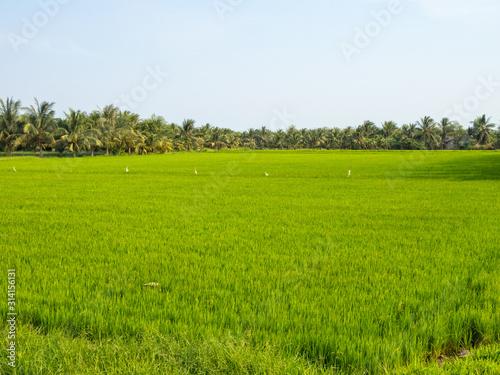 Vászonkép Lush green rice paddock in the Mekong River Delta - Tra Vinh, Vietnam