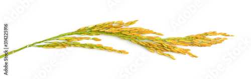 Fotografia Ears of rice, paddy rice isolated on white background