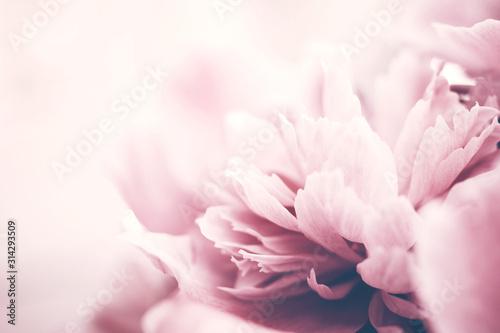 Carta da parati Closeup of pink peony flower, delicate background, soft focus.