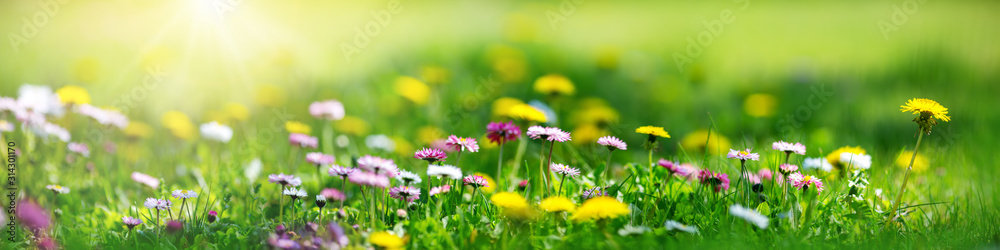 Meadow with lots of white and pink spring daisy flowers and yellow dandelions in sunny day