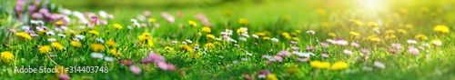 Fotografia Meadow with lots of white and pink spring daisy flowers and yellow dandelions in