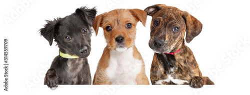 Canvas Print Three Cute Puppies Over White Web Banner