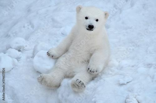 polar bear in the snow Fototapeta