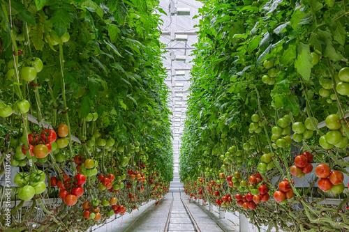 Tomatoes ripening on hanging stalk in greenhouse Fototapet