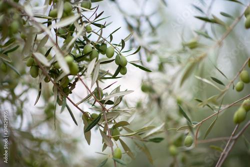 Wallpaper Mural Olive trees garden