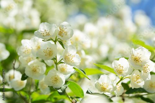 Carta da parati jasmine flowers in a garden