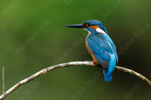 Photo kingfisher (alcedo atthis) in natural habitat