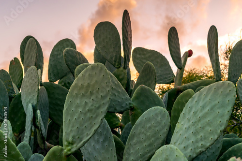 Fototapeta Texas Prickly pear cactus with green fruit with sunset background