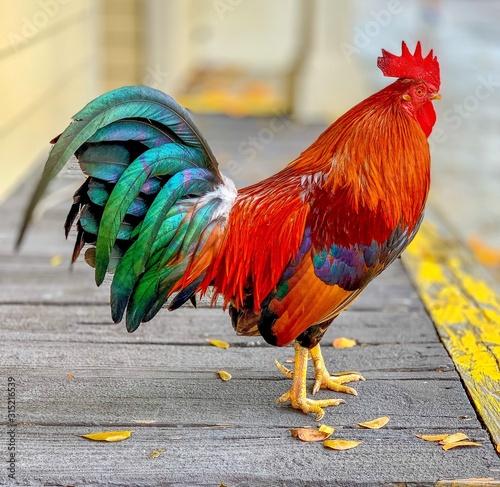 Cuadros en Lienzo Key West Rooster