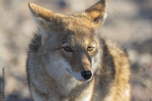Wallpaper Mural Coyote in Death Valley California Close up
