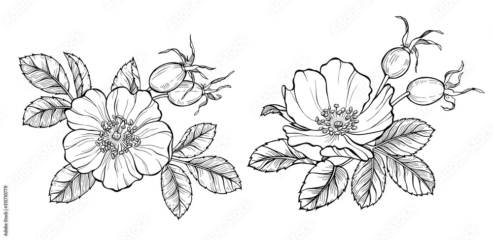 Wild rose flowers and berries, line art drawing. Outline vector illustration isolated on white background <span>plik: #315710779   autor: elta11</span>