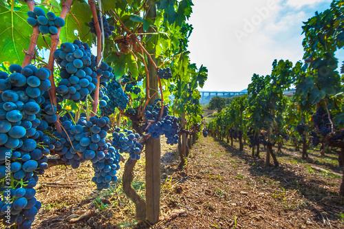 Canvas Print Ripe red wine grapes on vines at Picerno Basilicata Italy