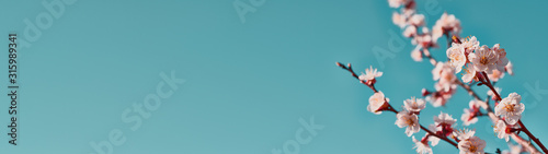 Panoramic shot of flowering apricot branches on a blue background with copy space: spring time concept