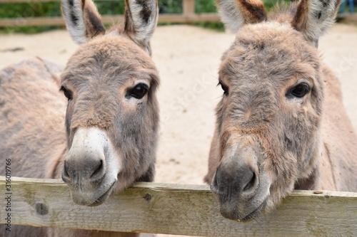 Valokuvatapetti donkey pair