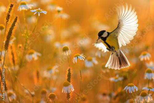 Canvas-taulu beautiful little bird yellow tit flies over a field of white Daisy flowers in Su